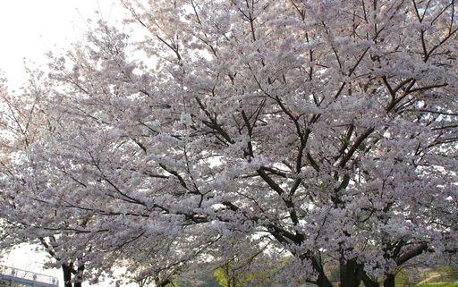 20170415-01-桜.JPG